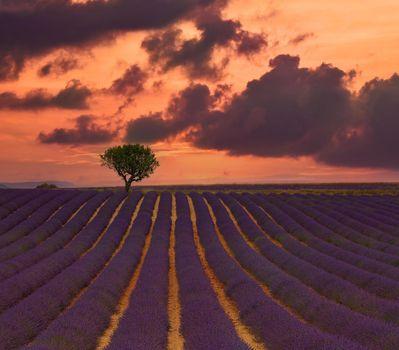 Purple lavender field of Provence