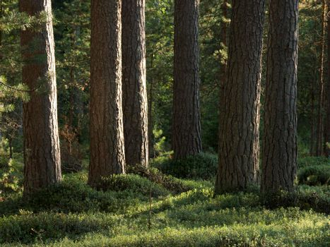 Pine forest in the sunny summer day.