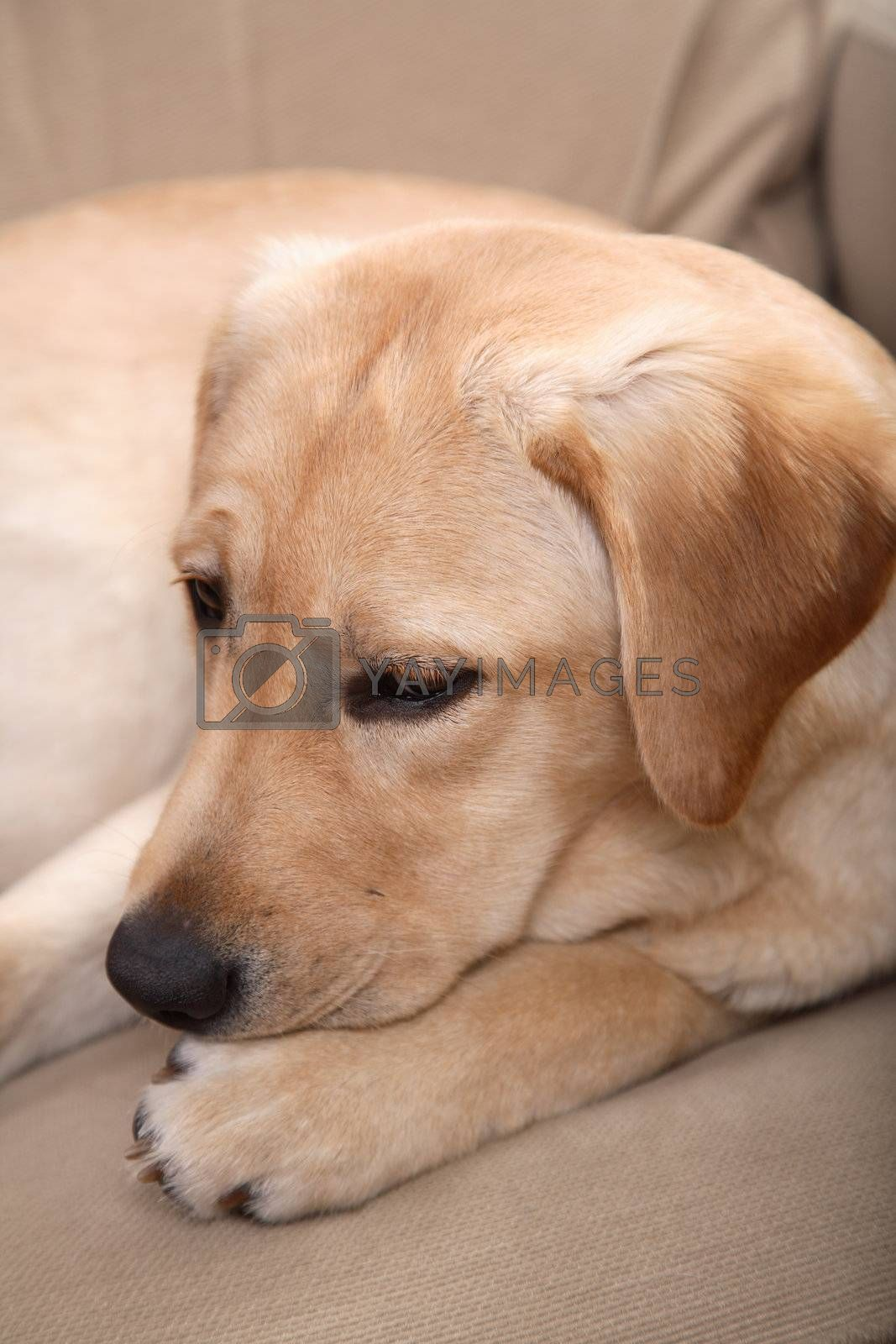 Indoor dog portrait of a Labrador Retriever