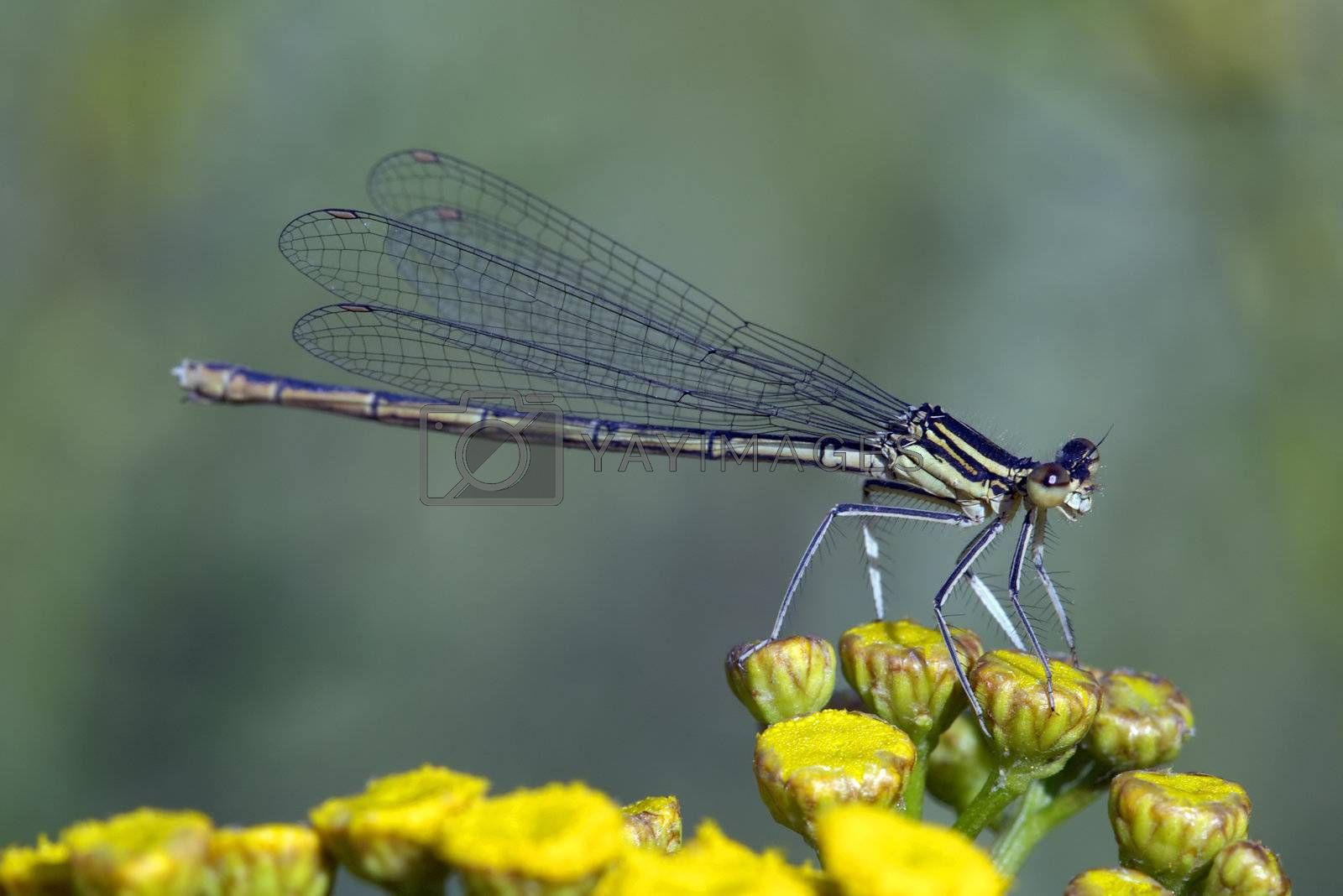 Damselfly by martinspurny