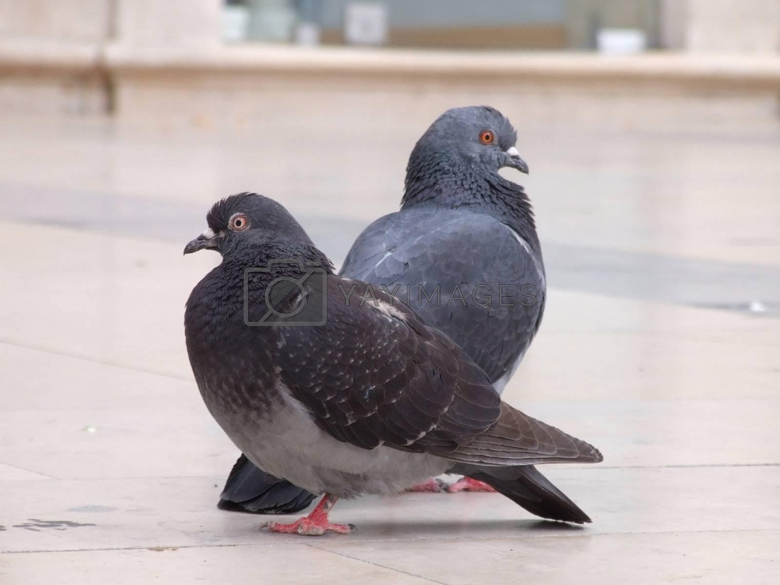 City pigeon by PauloResende