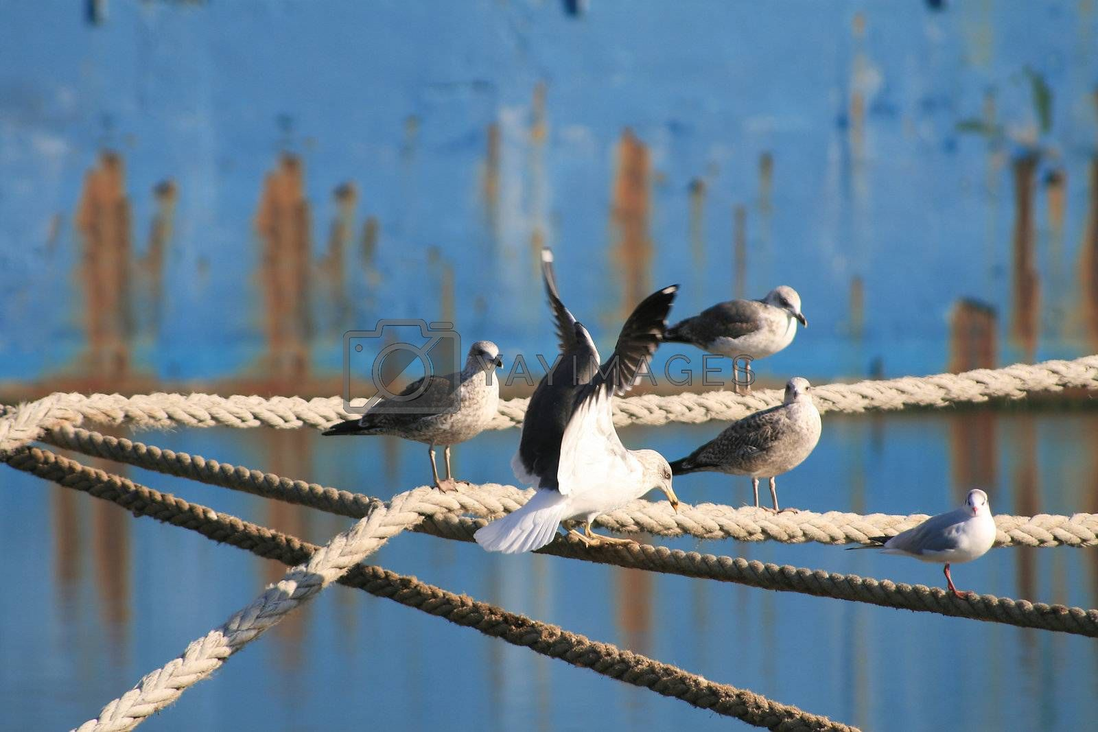 Seagulls in the rope by PauloResende