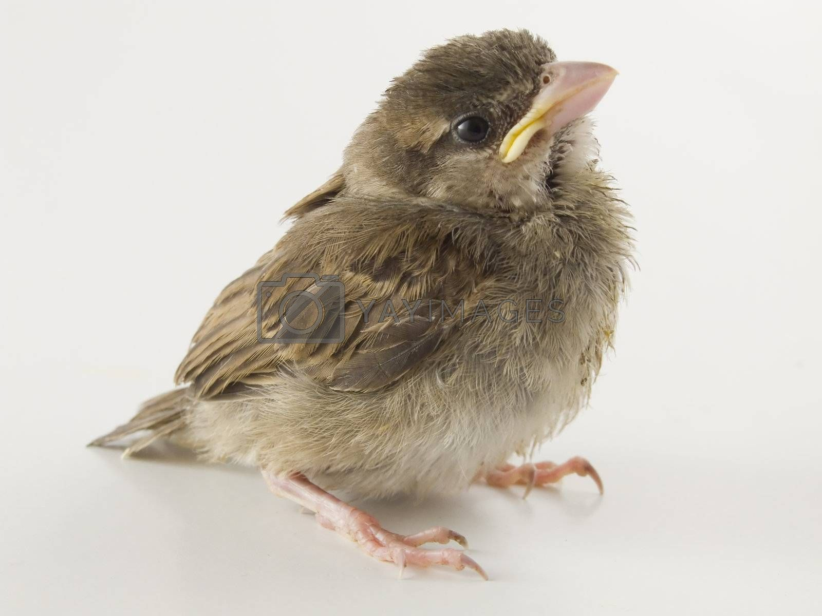sparrow by PauloResende