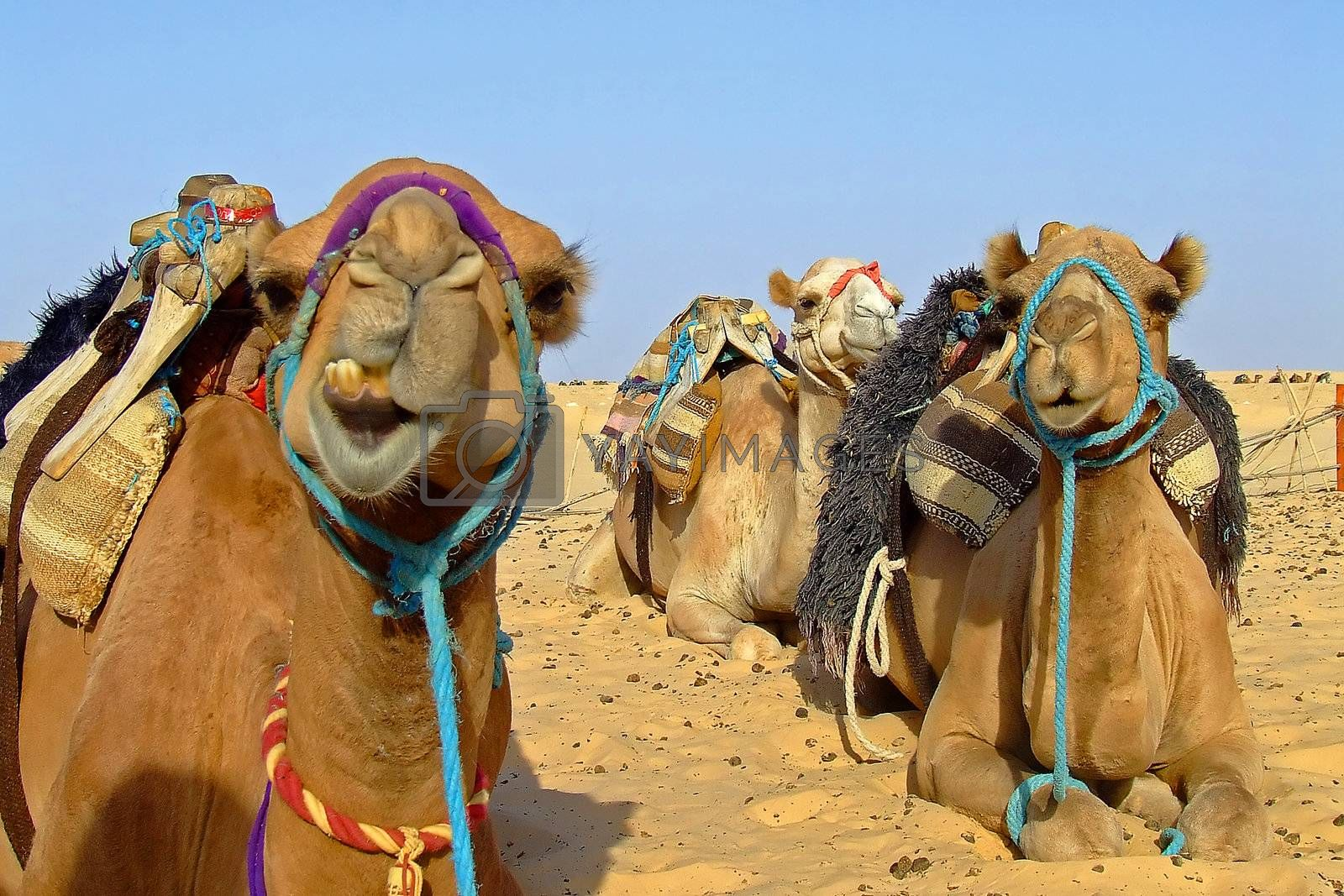 Camel on sahara by PauloResende