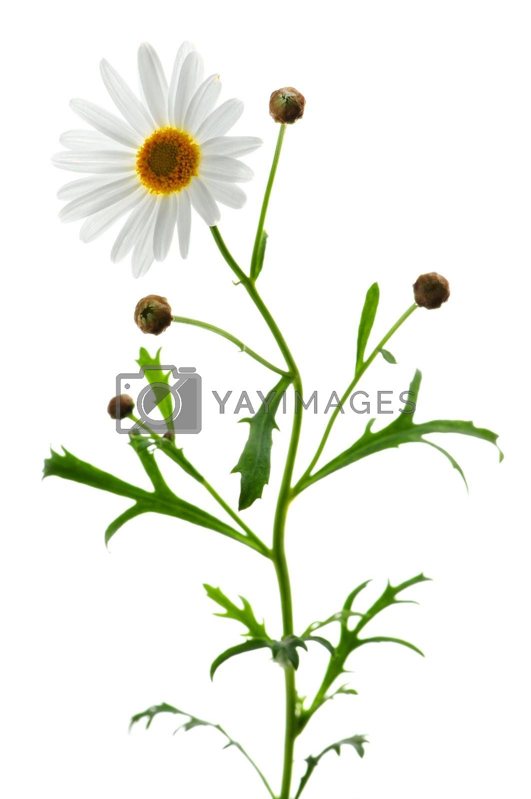 Daisy plant with a flower isolated on white background