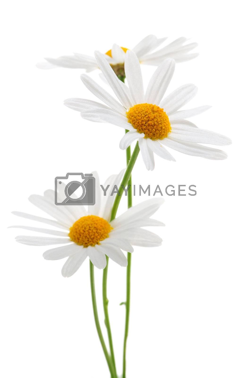 Daisy flowers isolated on white background