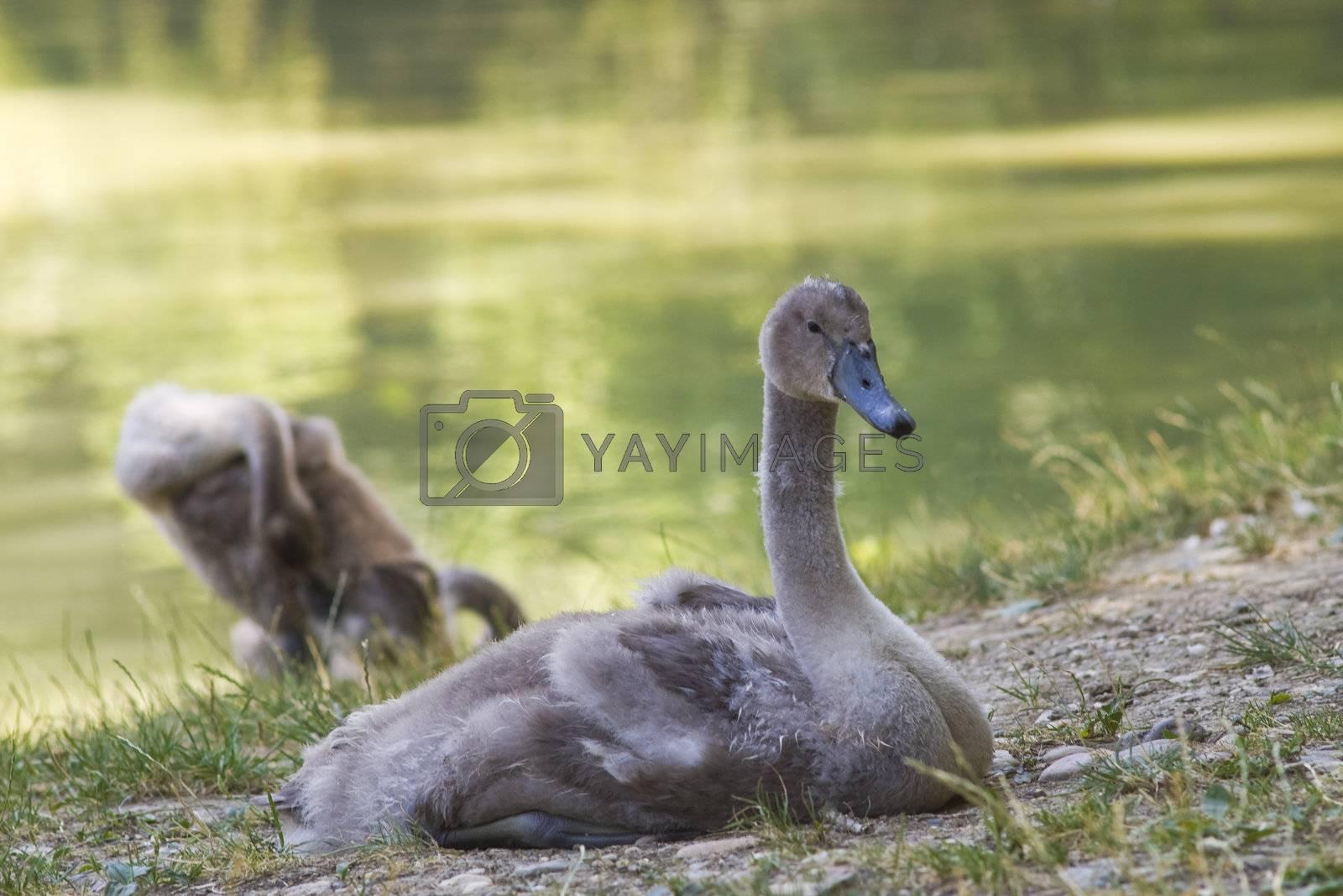Babies of swan by photo4dreams