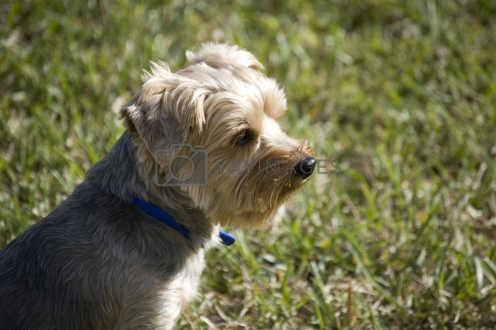Portrait of a Yorkshire Terrier with grass in the background