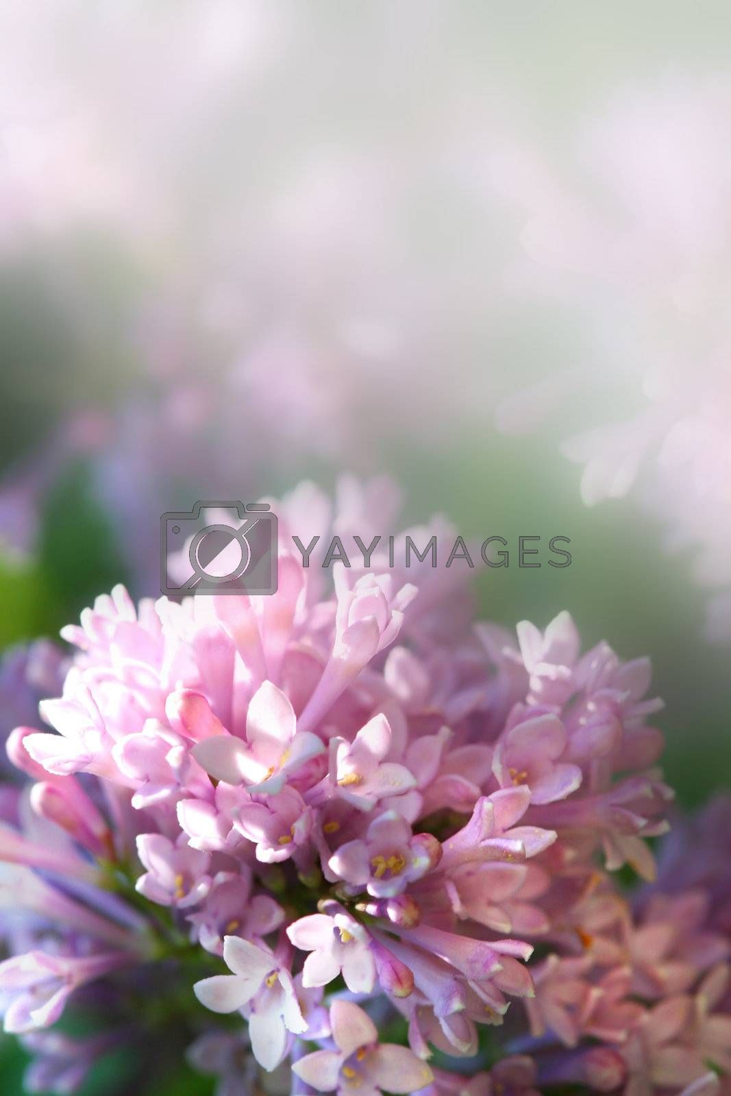Closup of lilac flower with faded background