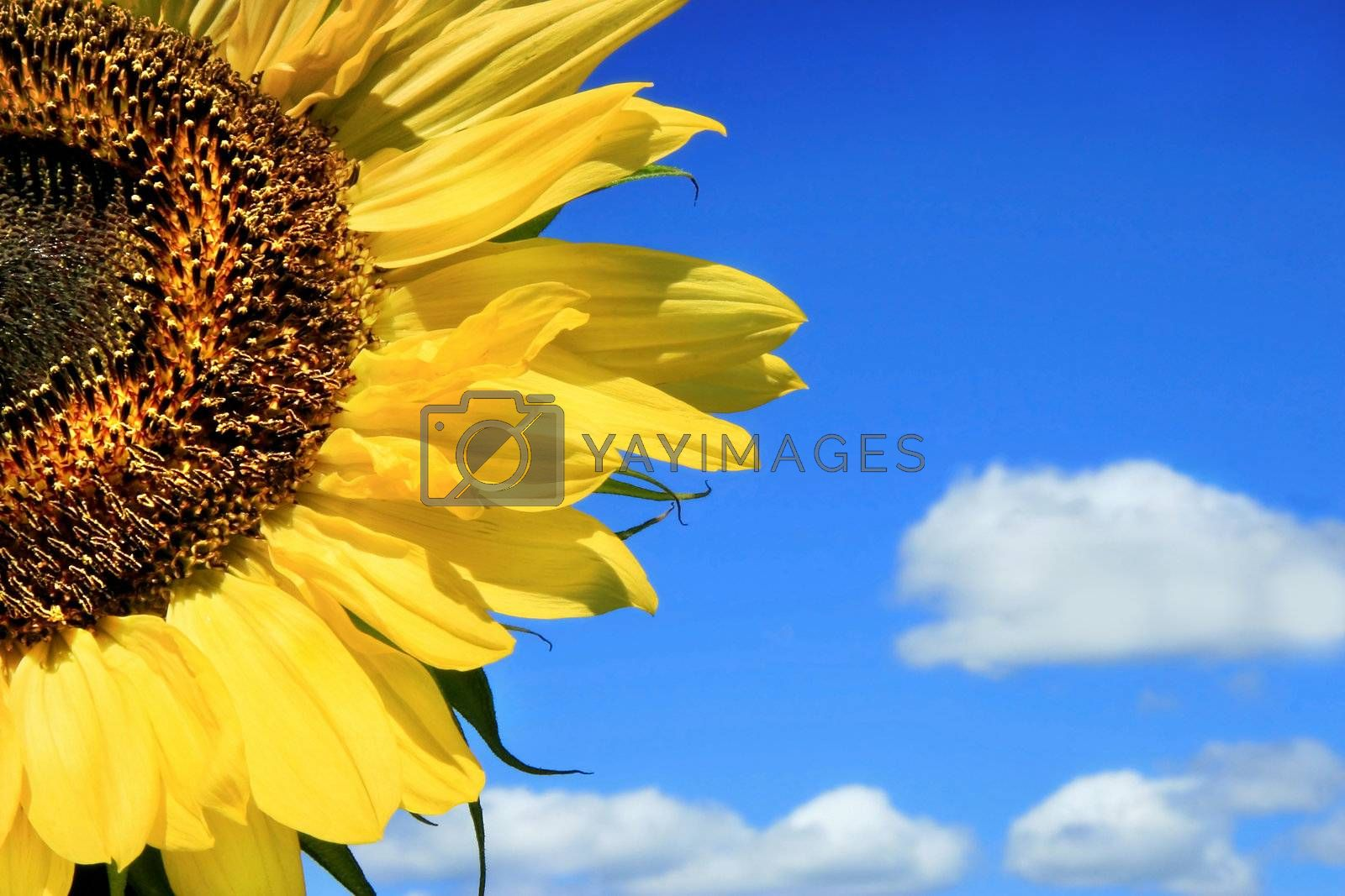 Sunflower and clouds against a blue sky