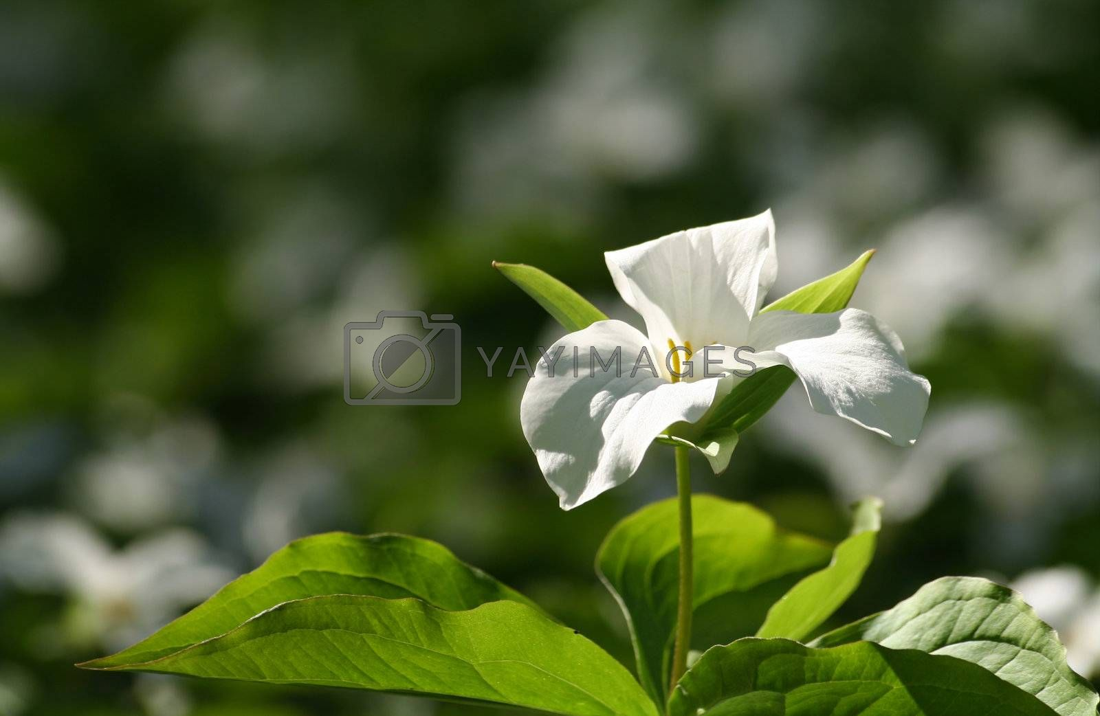Wild trillium growing everywhere in the woods