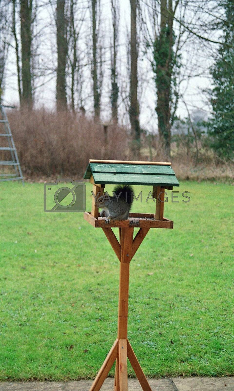 grey squirrel stealing fat ball from bird table
