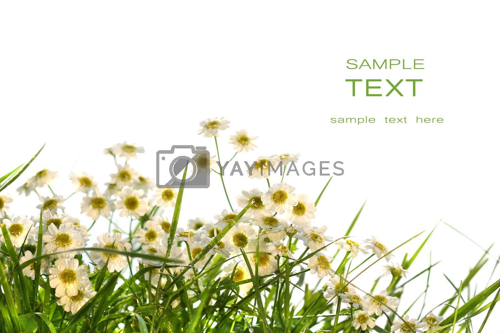 Little wild daisies on white background