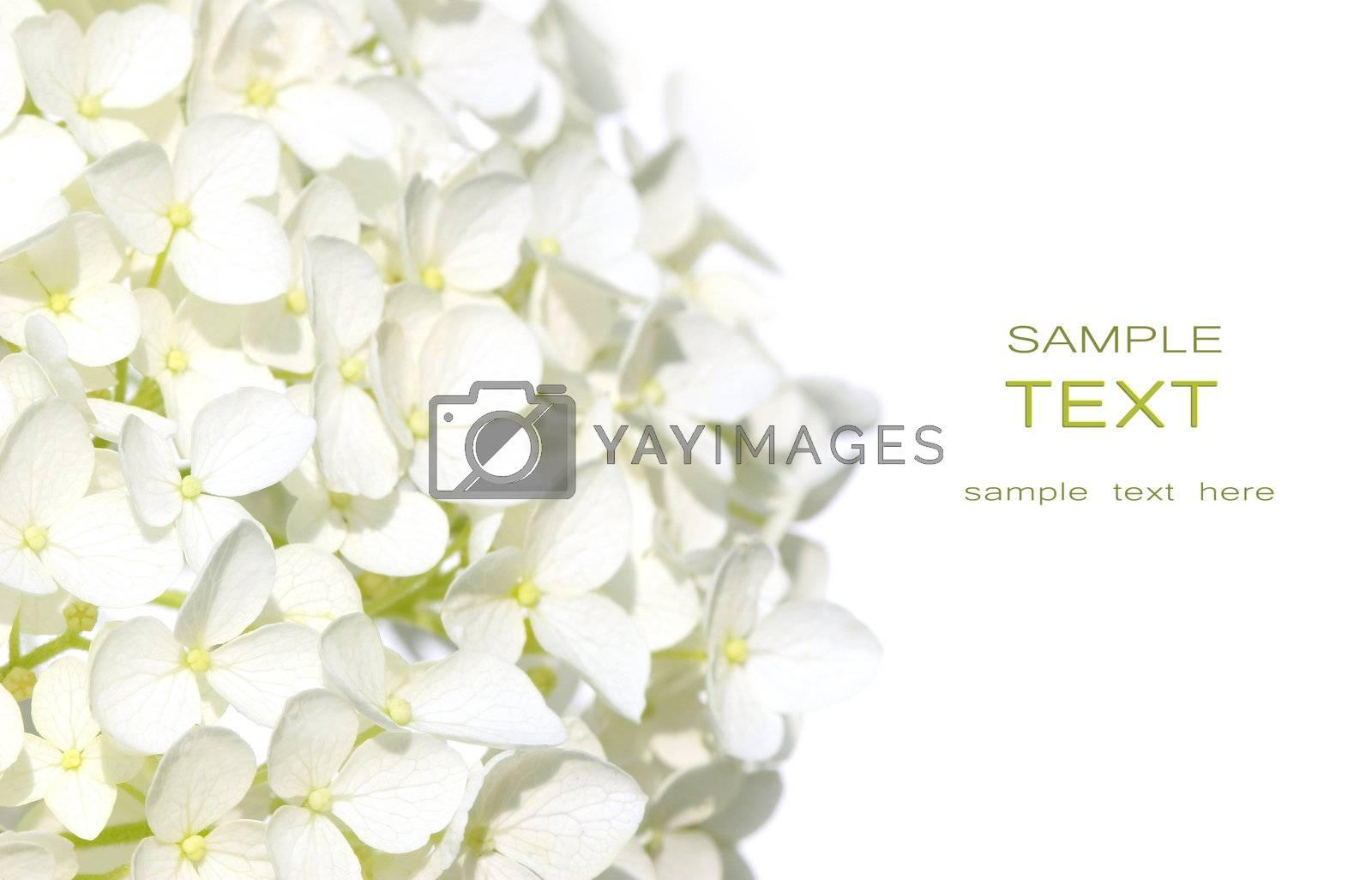 White hydrangea flowers against white background