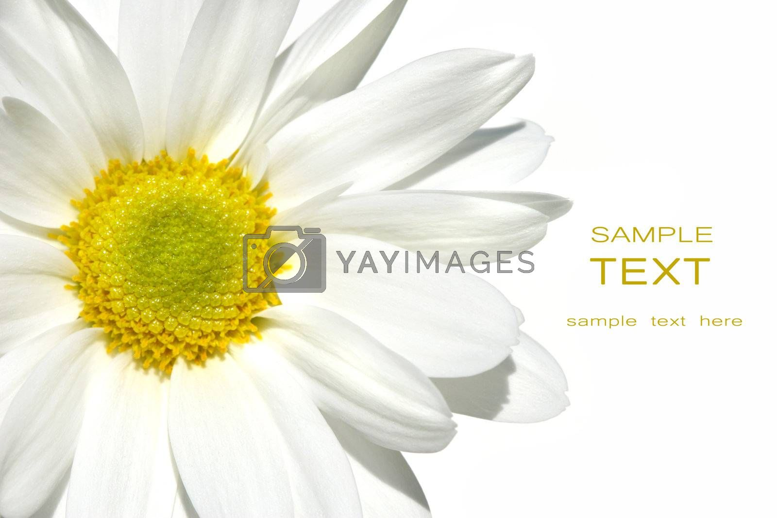 White shasta daisy on white background