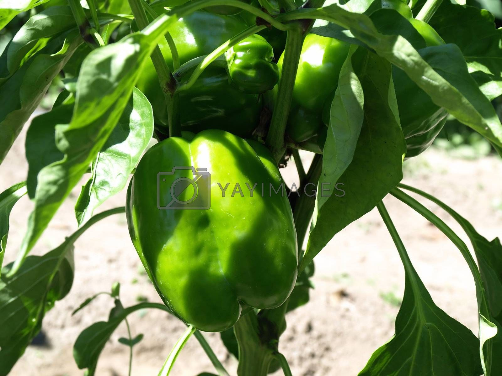 Beautiful green bell peppers growing on a vine in a garden