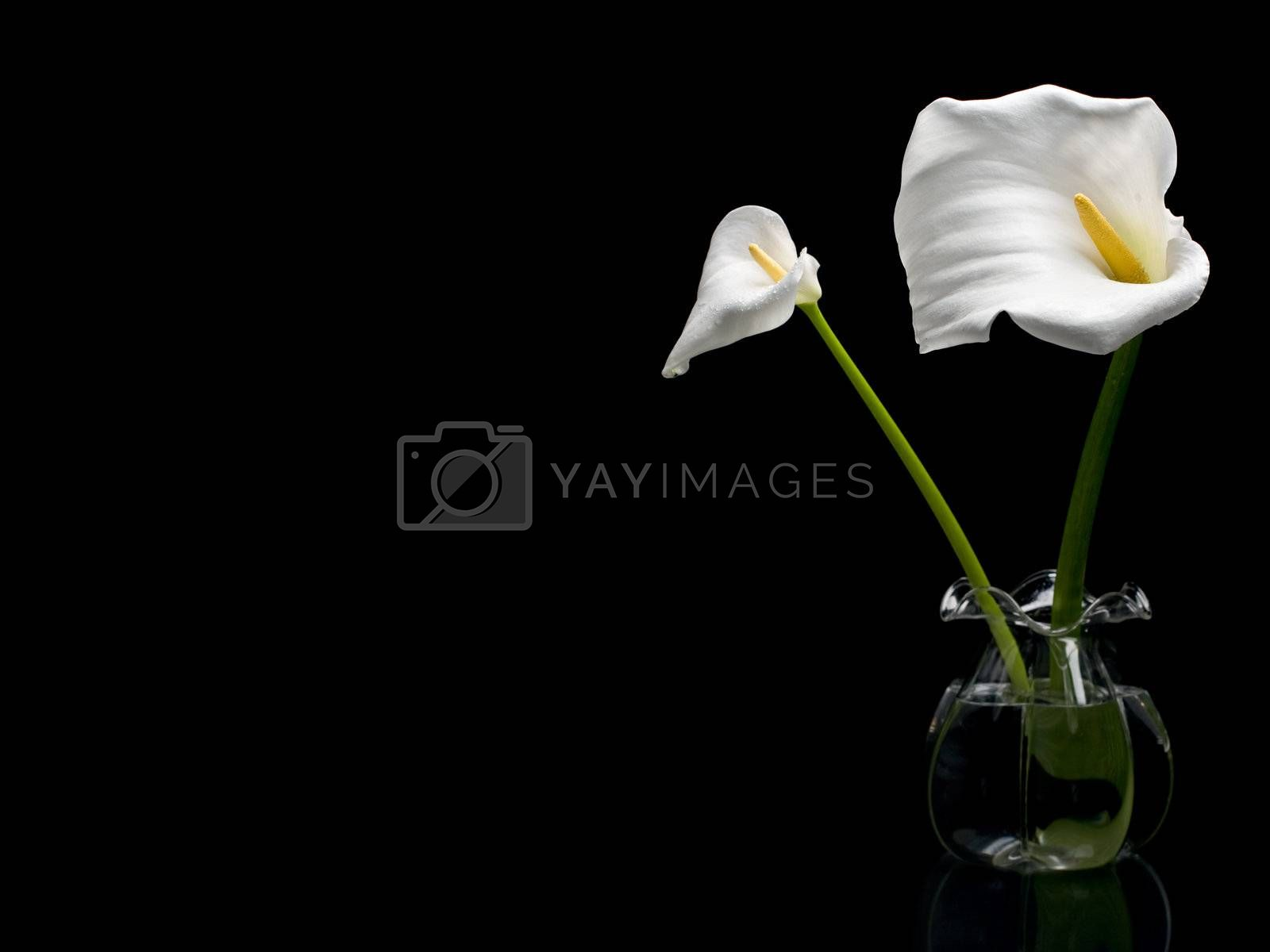 Two white callas isolated on black background
