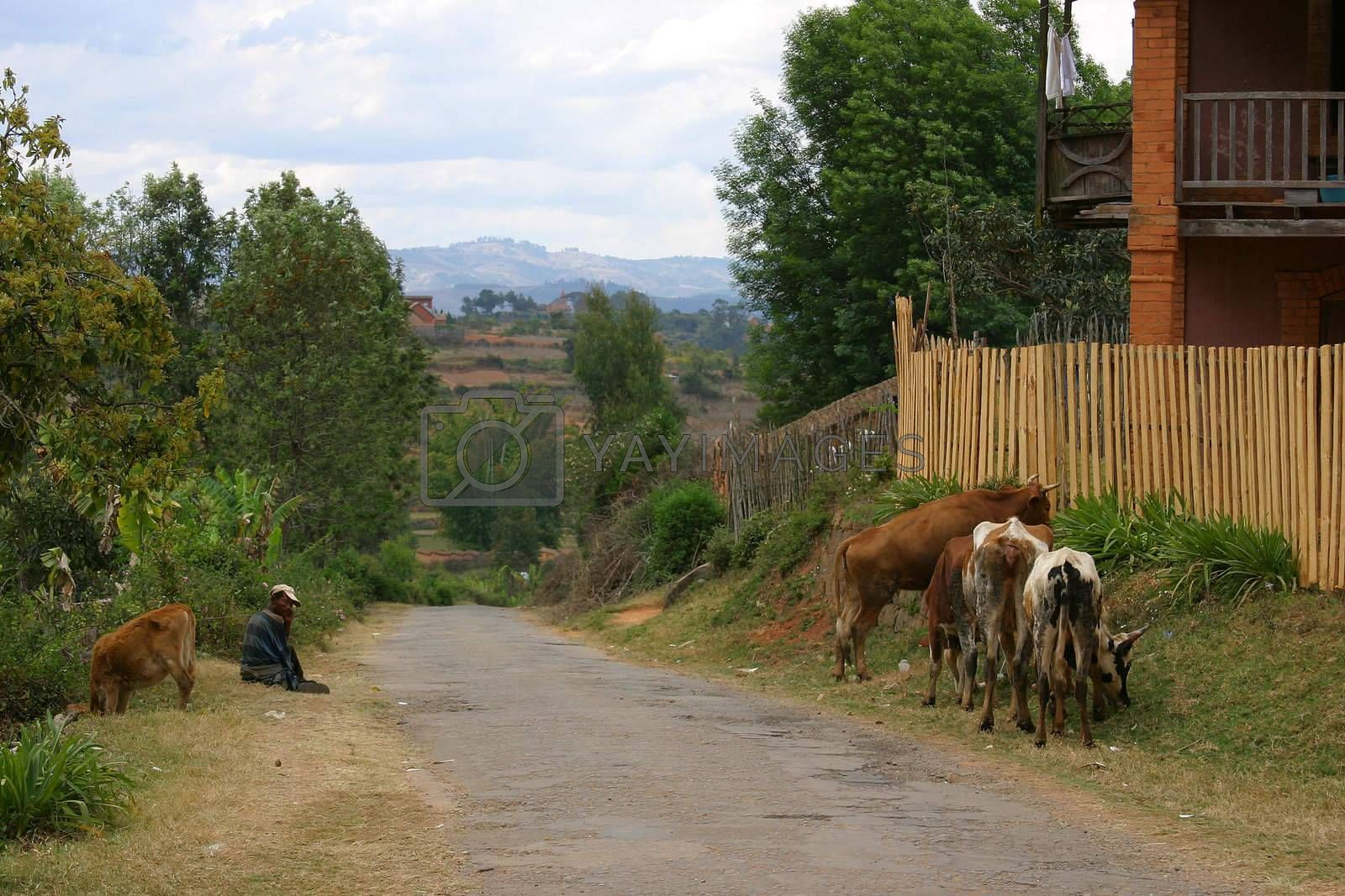 Along the road in Madagascar a man 'walks' his cows