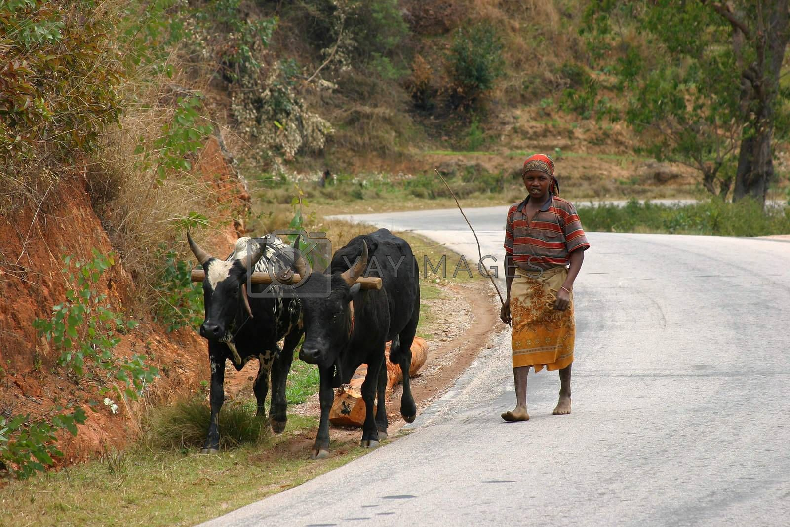 Man walking his two cows back home after a days work