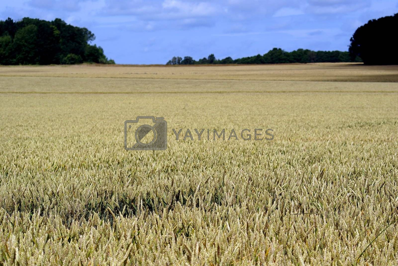 A wheat field in France on a sunny day