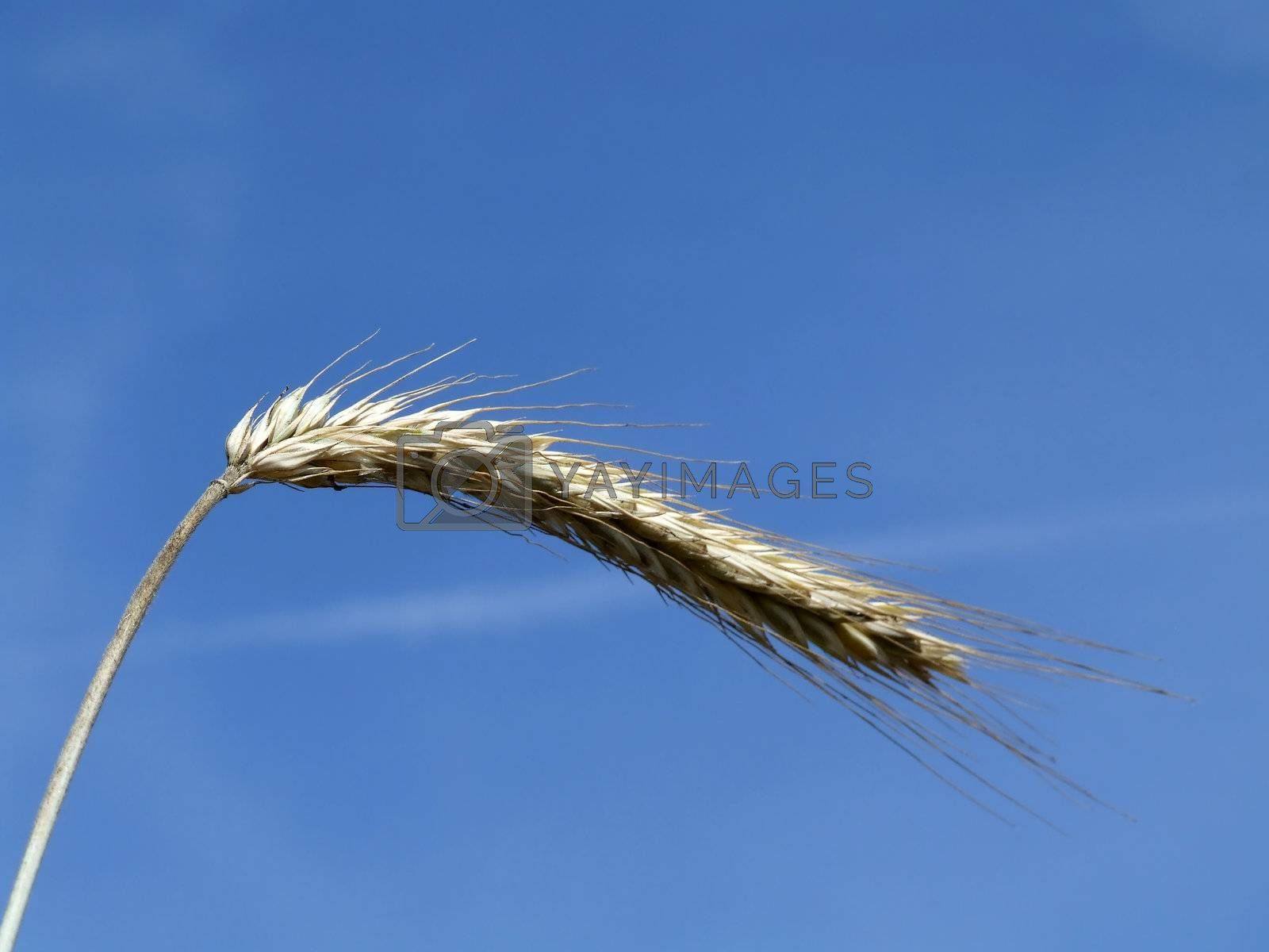 A photo of wheat in summertime