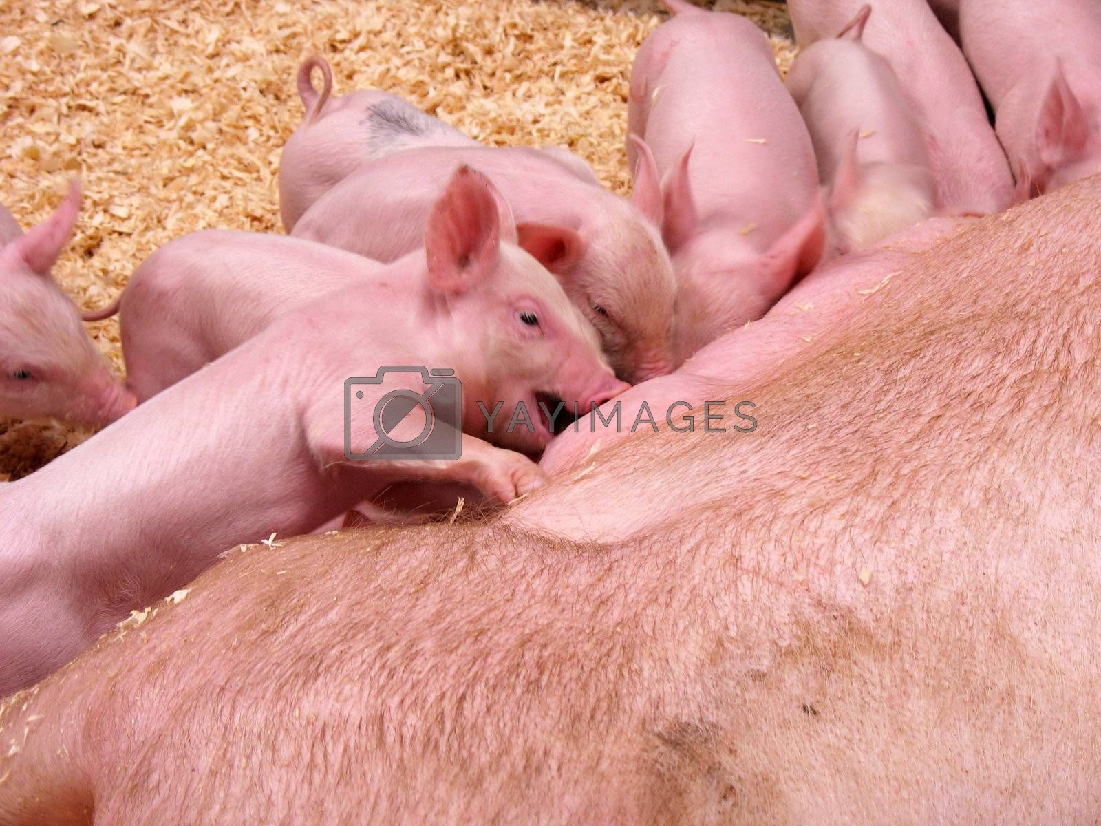 A bunch of cute piglets all lining up to eat.  There is slight motion blur on the face main piglet at 100%, as he was going crazy to grab a bite to eat.