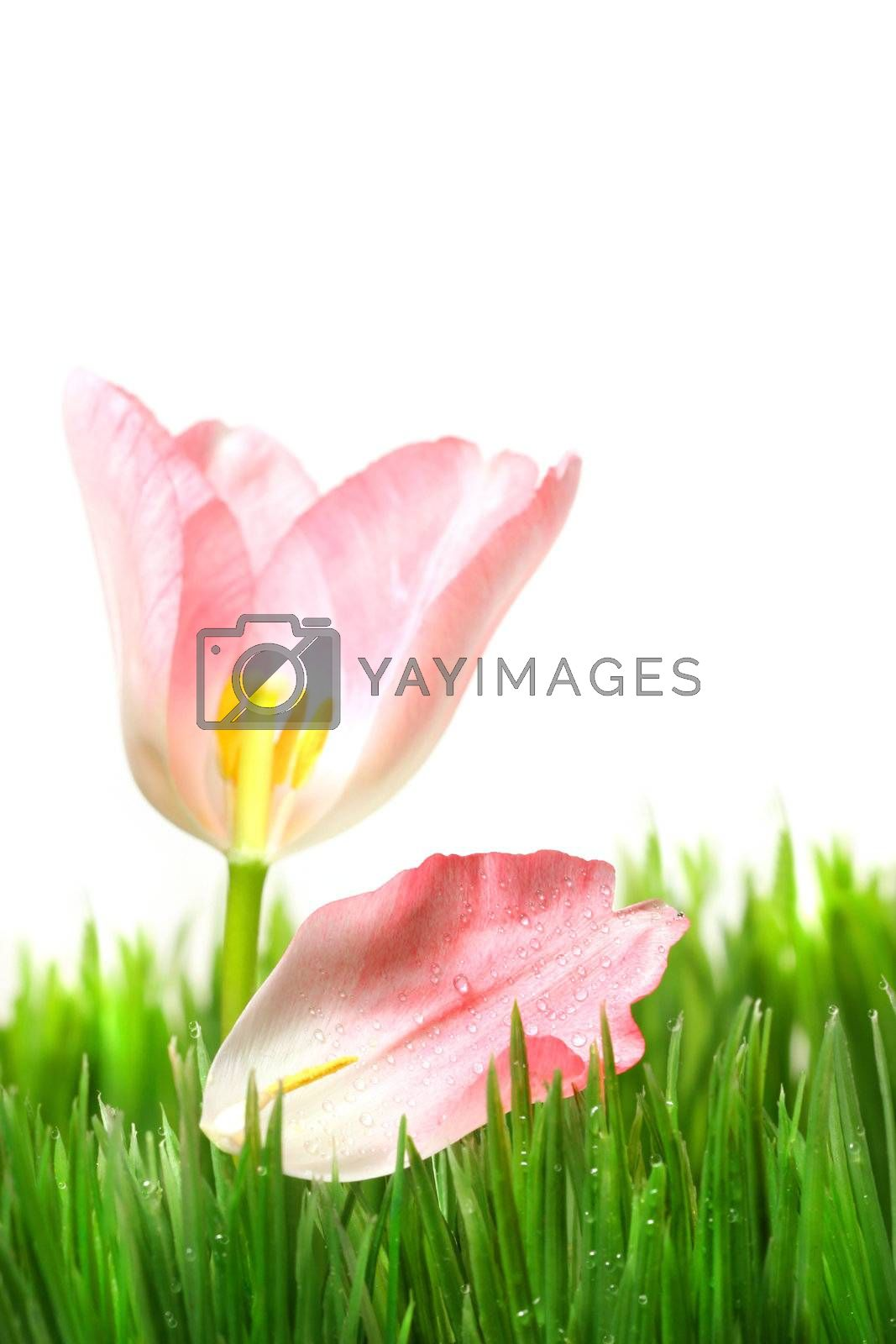 Pink tulip with petal in the grass