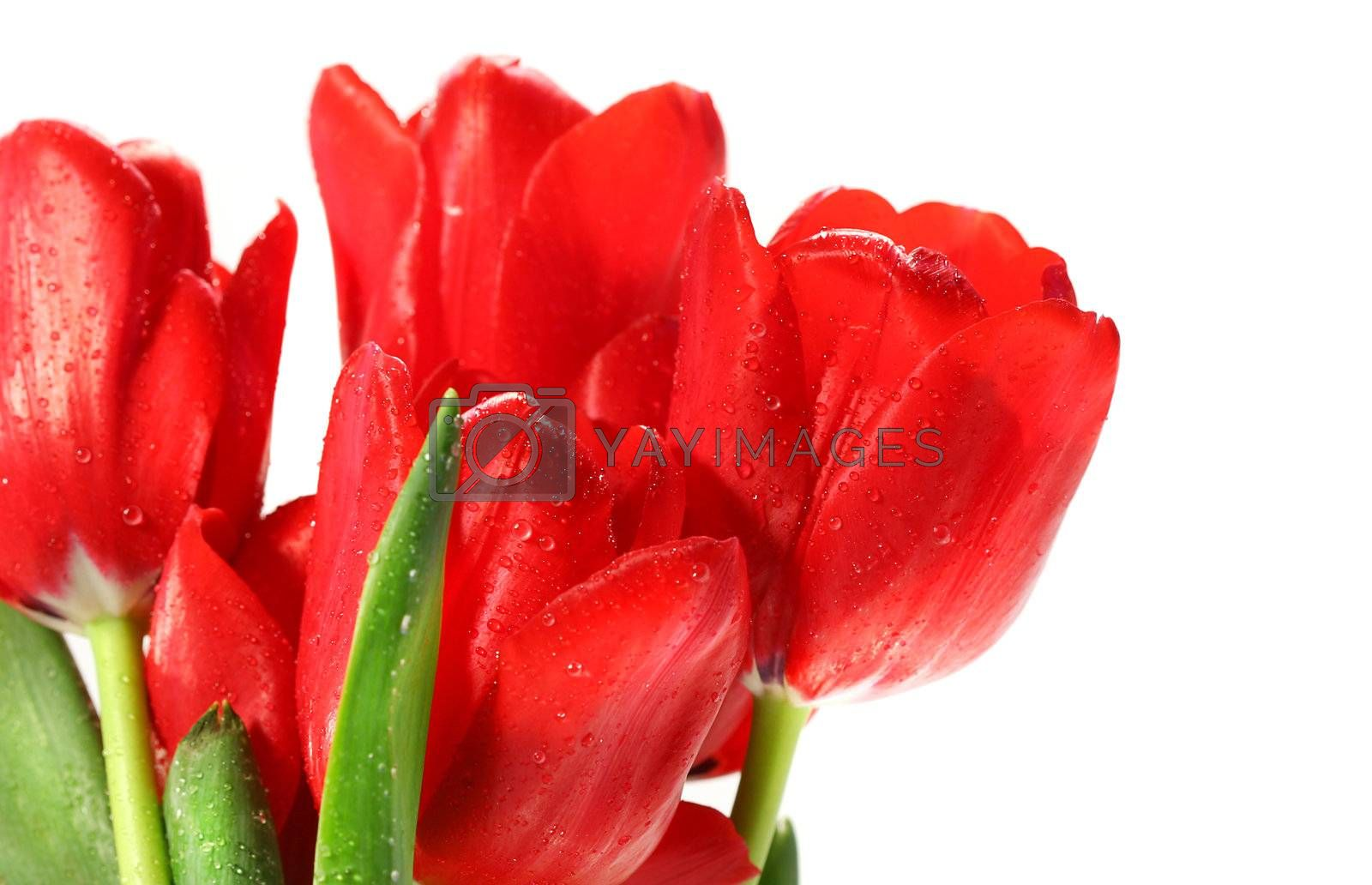 Red tulips against a white background