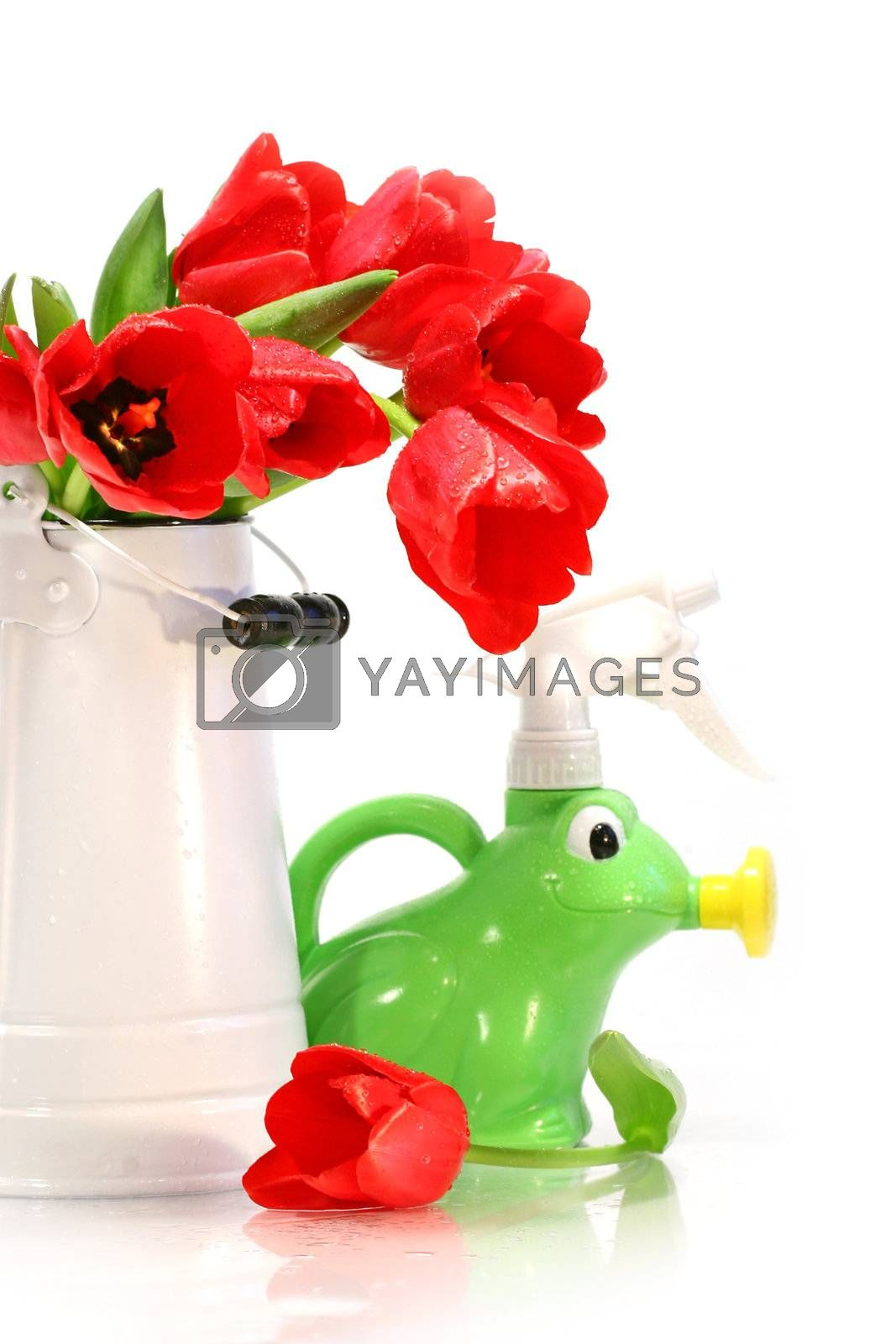 Spring tulips in vase with watering can