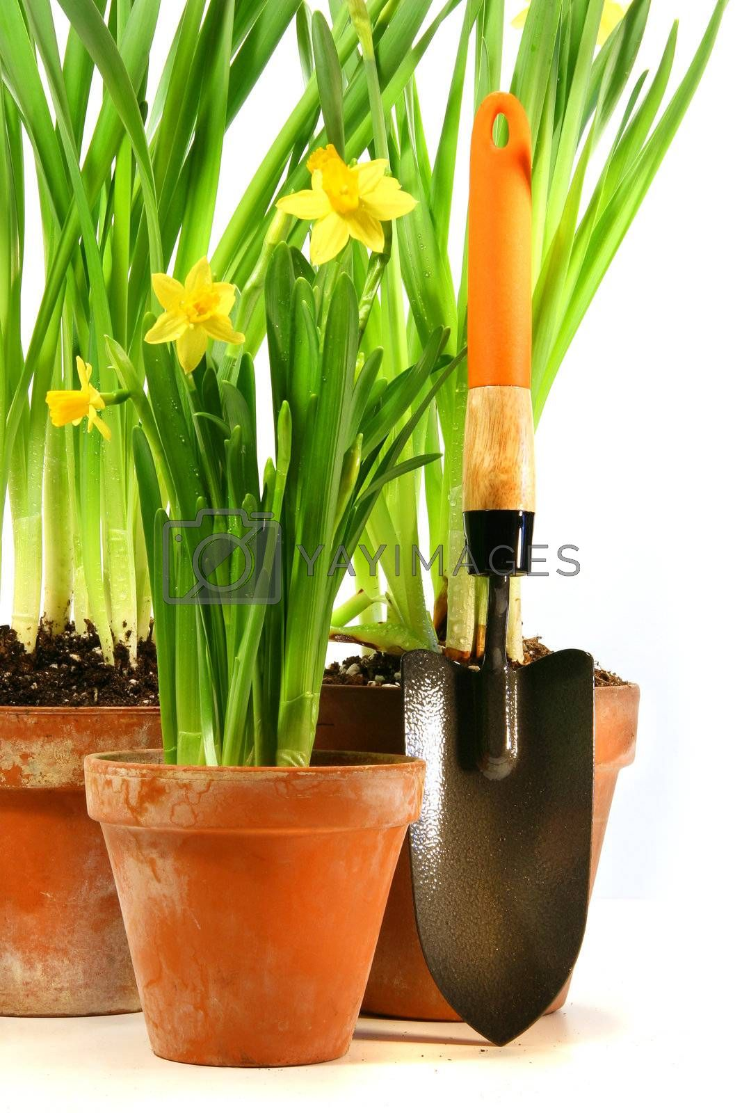 Pots of daffodils with garden shovel on white background