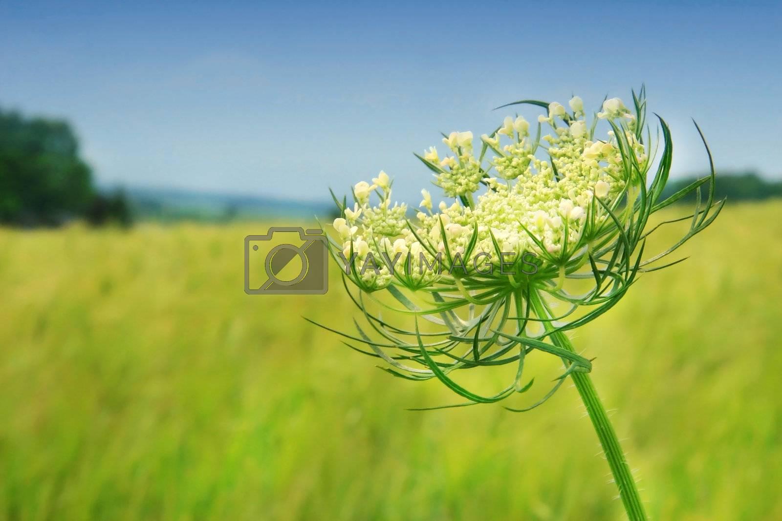 Wild flower against the blue sky
