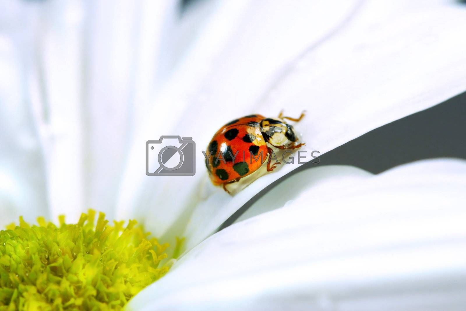 Little red ladybug on the petal of a daisy