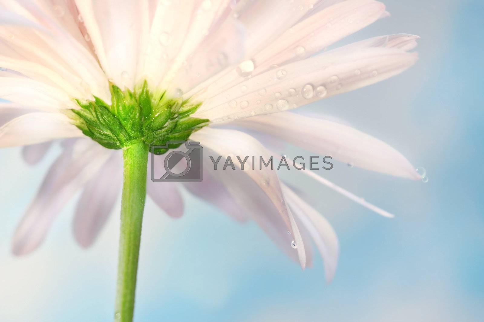 Pink daisy against a blue summer sky