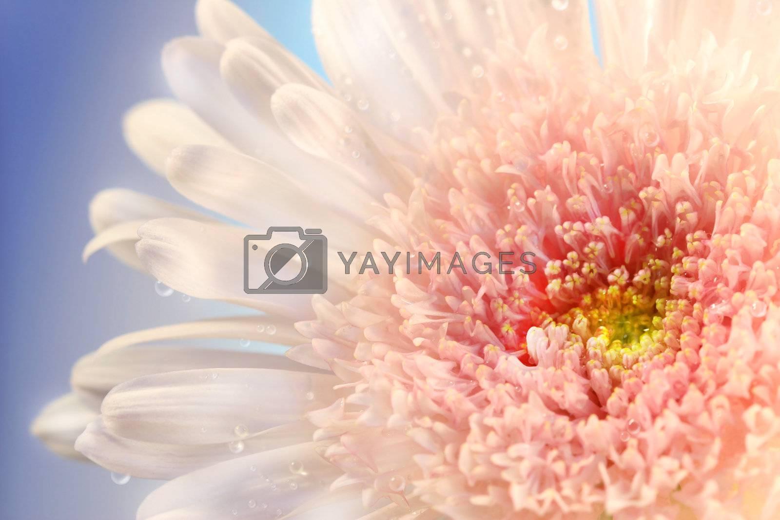 Closeup of pink daisy against a blue summer  sky
