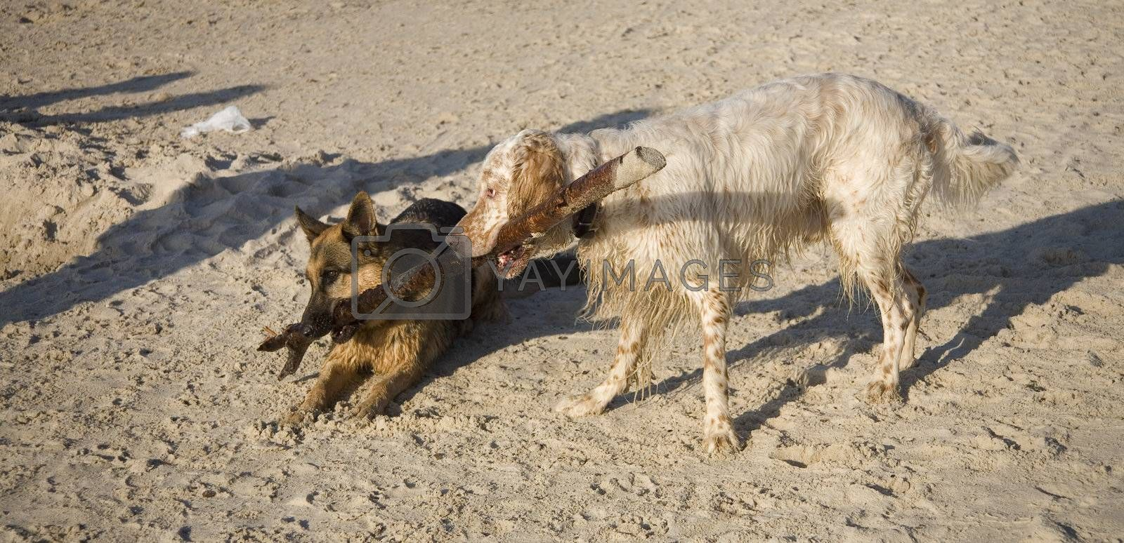english setter and german shepherd  on sand beach coast in Poland