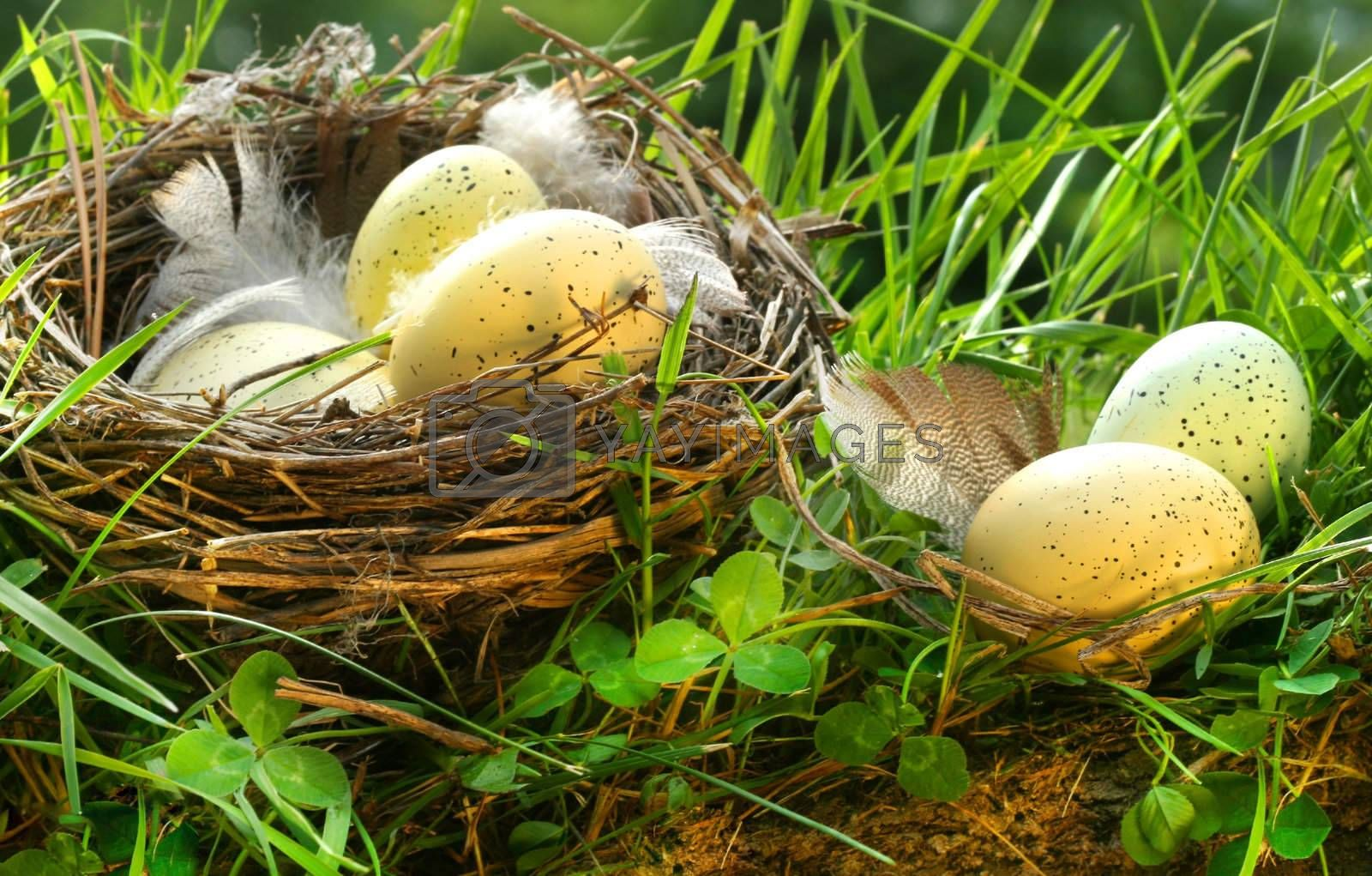 Bird's nest with eggs in the grass