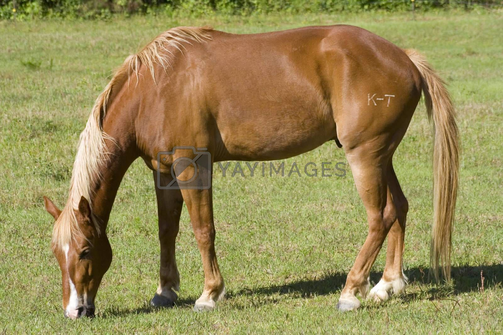 A horse grazing in an open pasture.