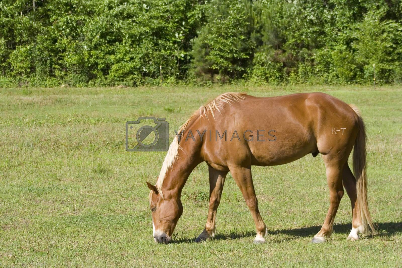 A wide shot of a horse grazing in a field.