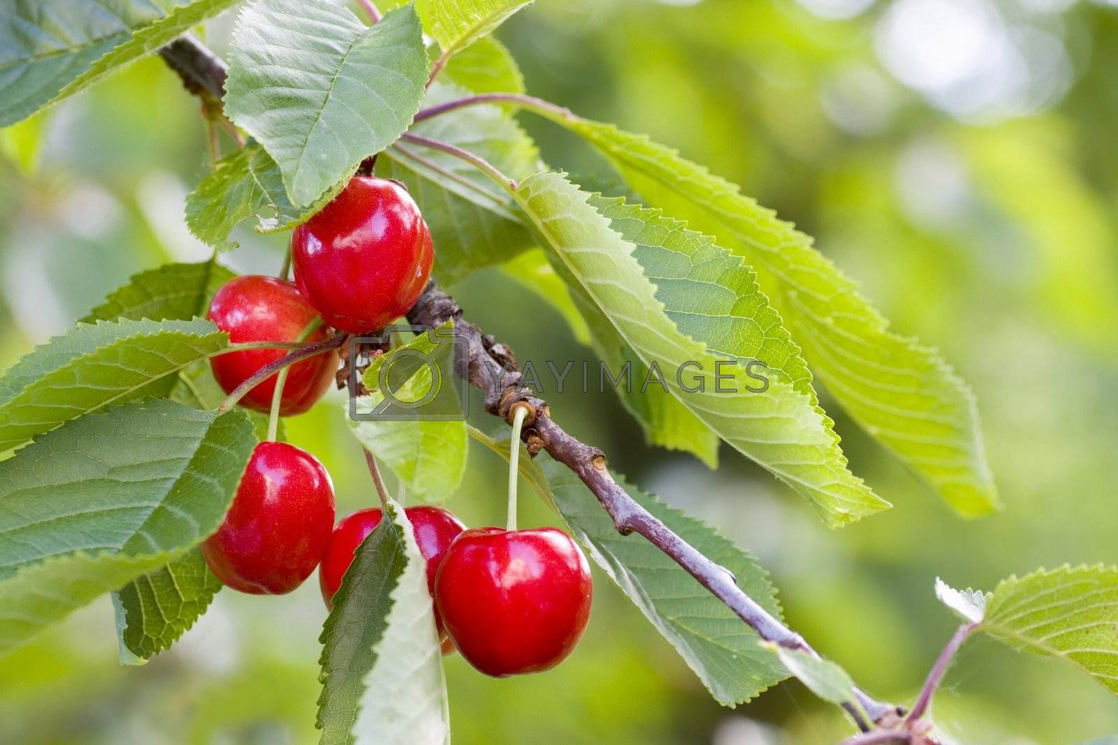 Red ripe cherries hanging on a tree with green leaves