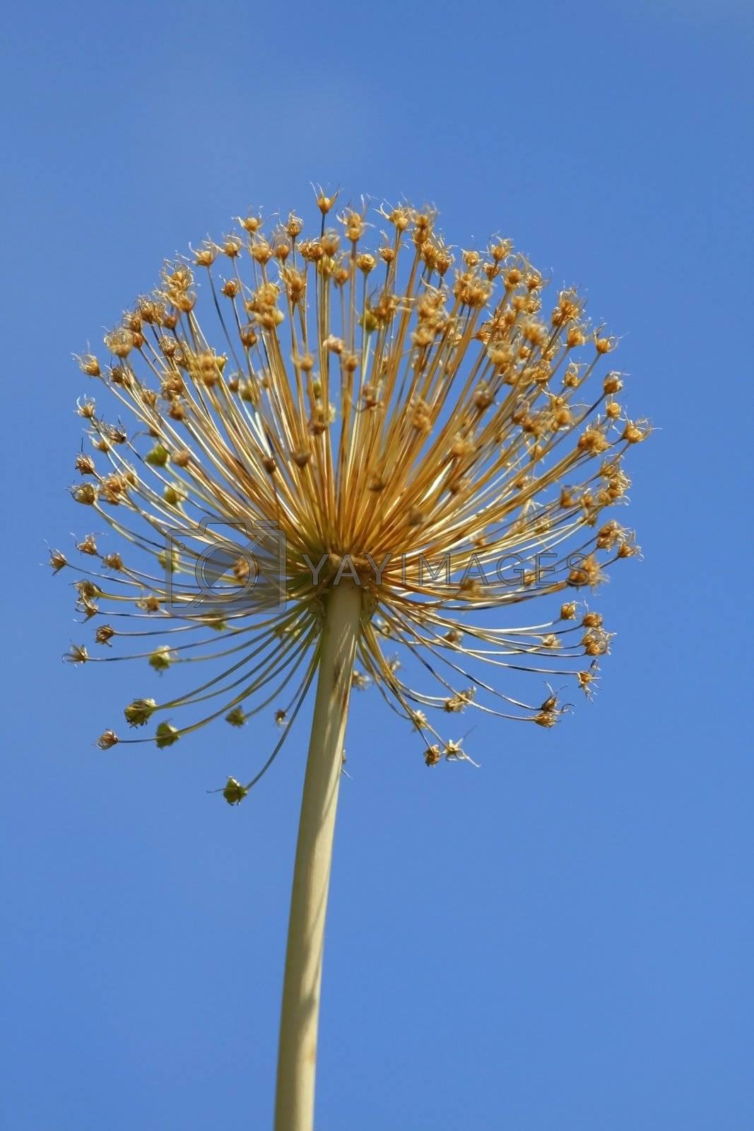 Large Wild Flower by snehit
