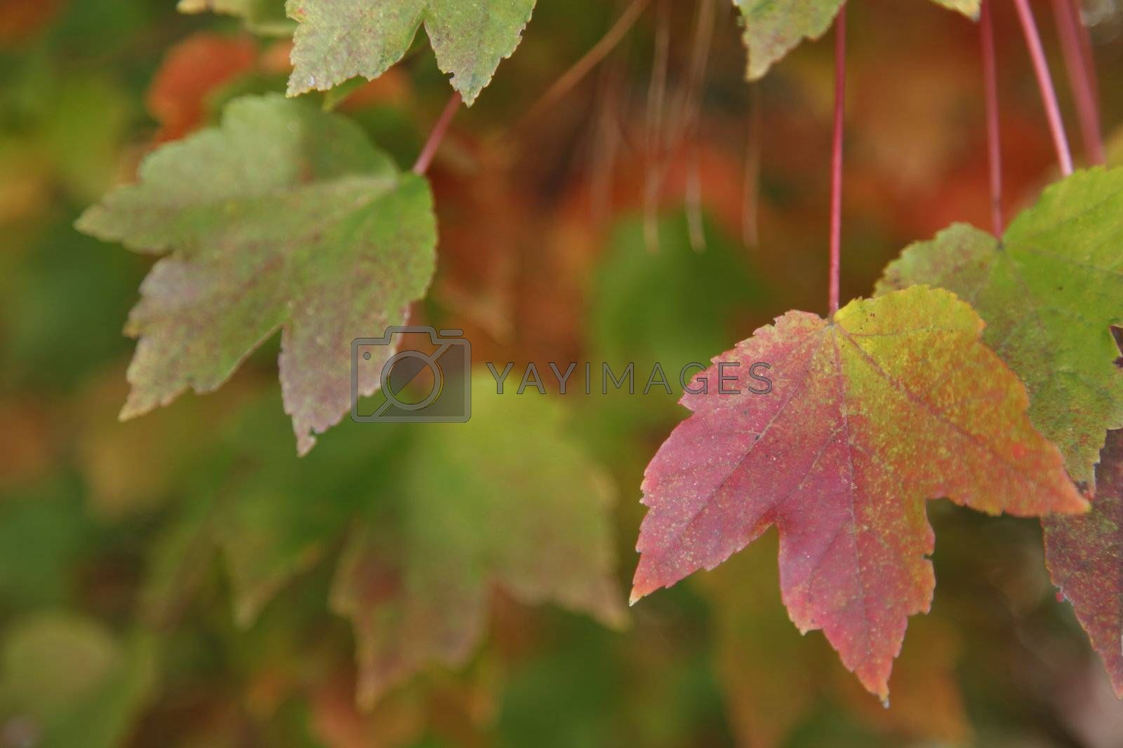 Colorful leaves during the fall or autumn season