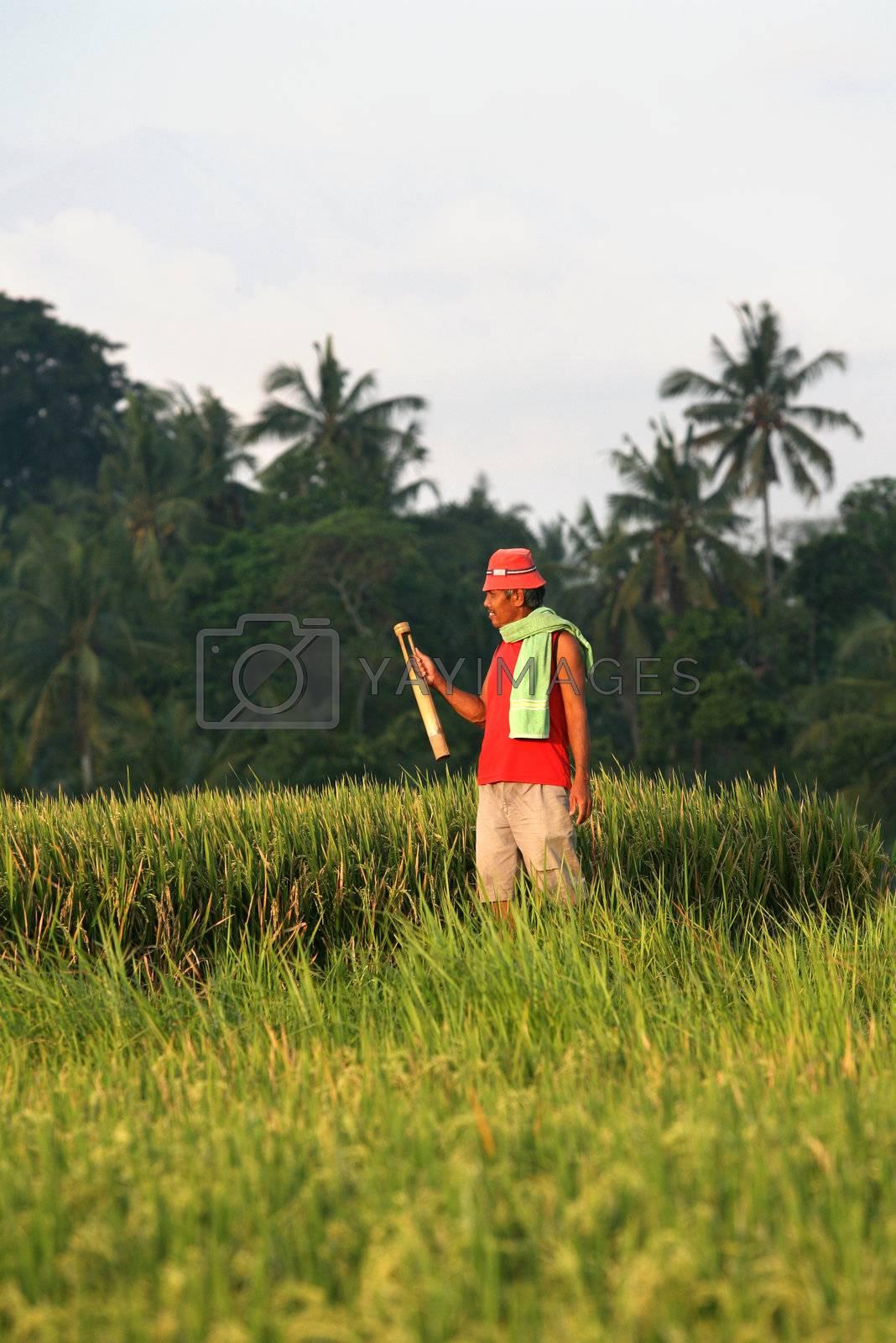 Worker in rice field in Bali. Indonesia