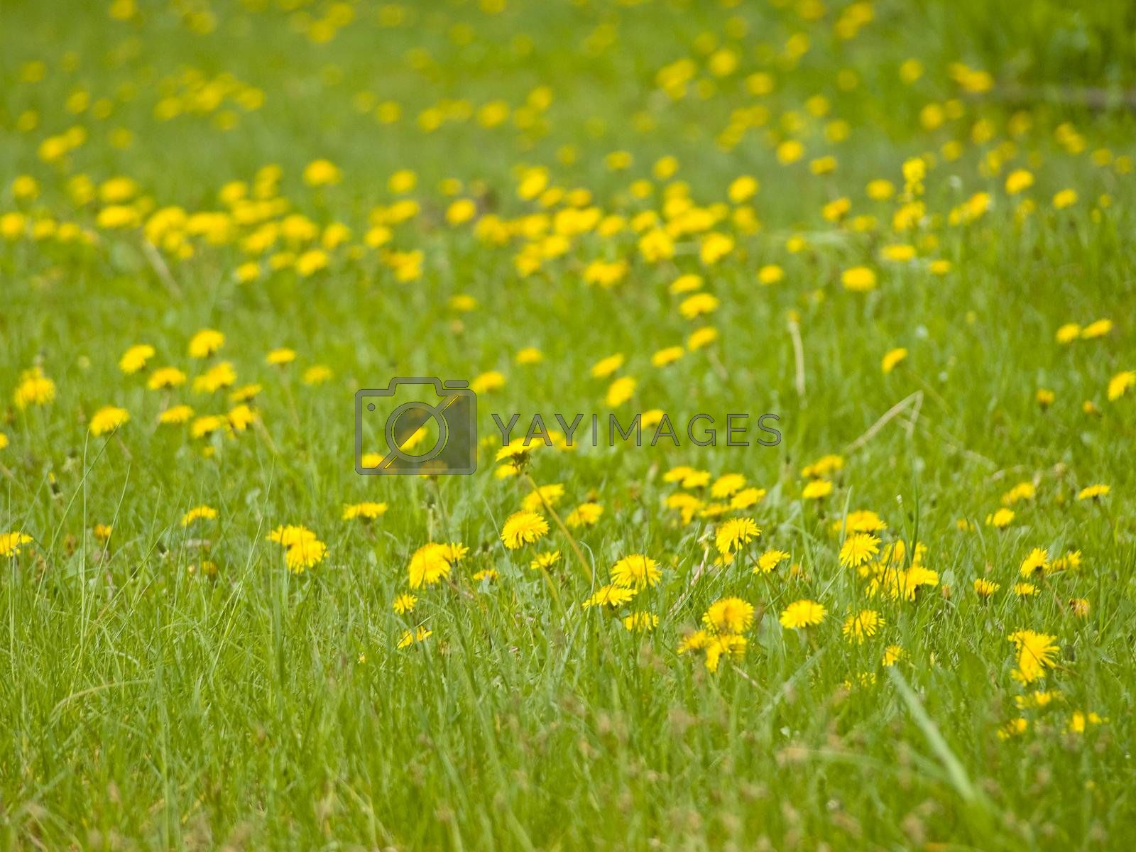 Many yellow spring dandelions at the green grass