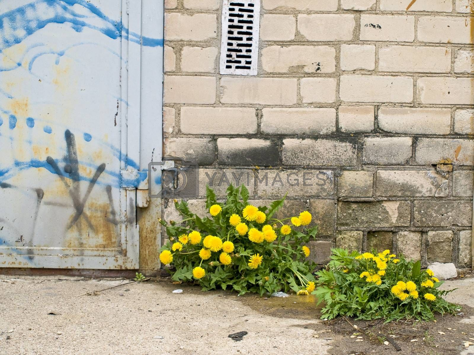 Yellow dandelions near the brick wall and door