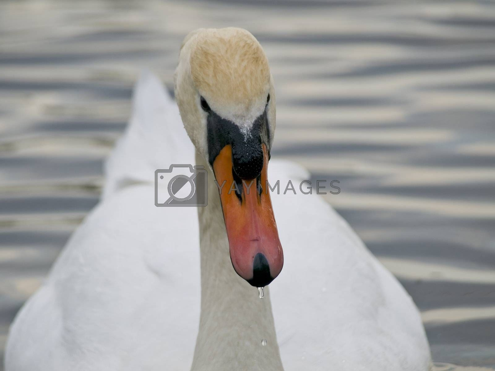 Close up single swan swimming at the ripple dark water