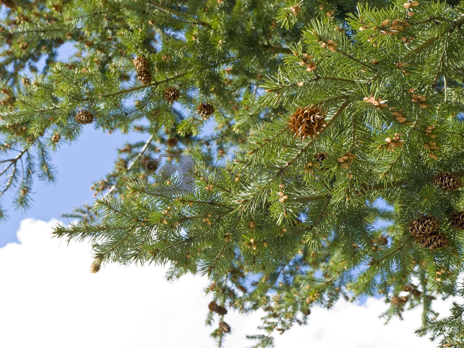 Branches of the pine tree with new strobiles against the blue sky