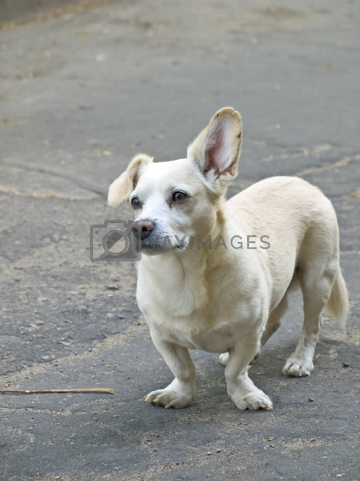 white small surprised dog at the street