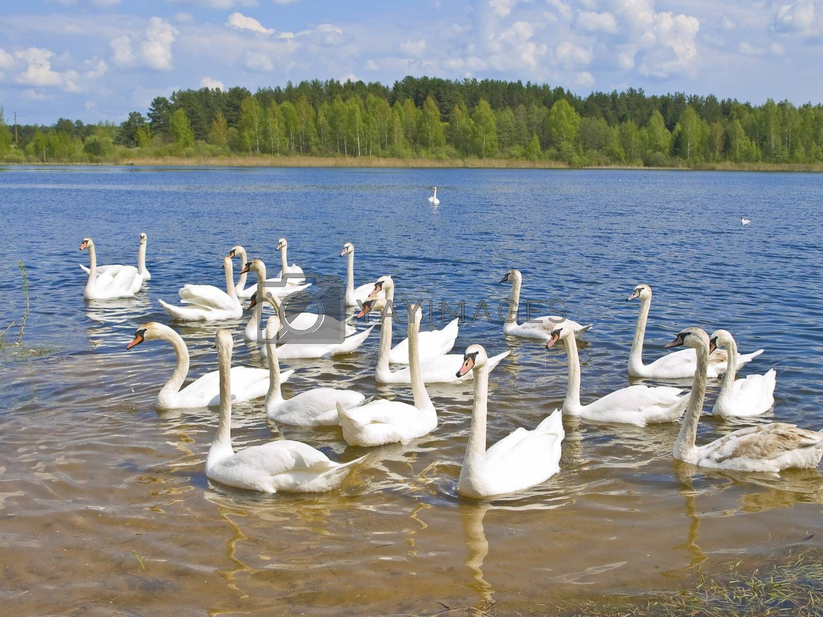 Many white swans swimming at the blue lake in wild nature