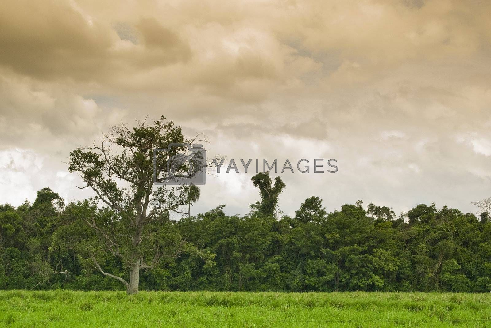 Old tree on the pasture with forest on background, farmland in southern Brazil.