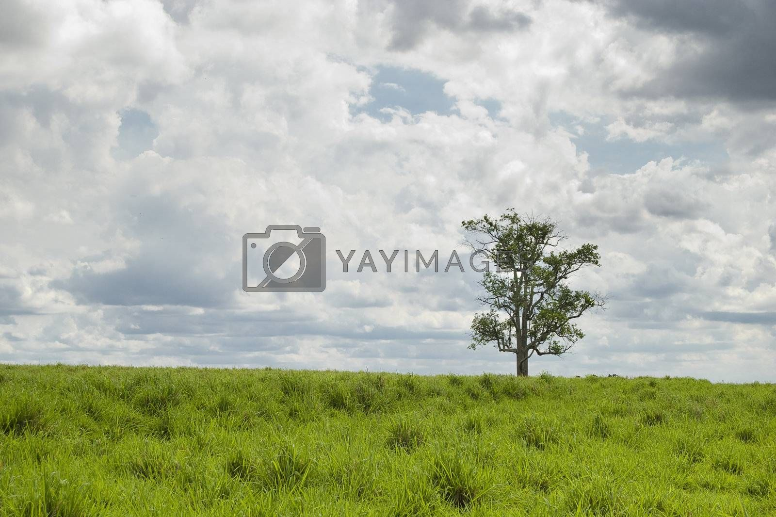 Old tree on the pasture, farmland in western Parana State, southern Brazil.